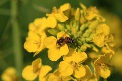 Flor y abeja del Canola Foto de archivo