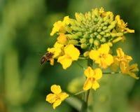 Flor y abeja del Canola Fotografía de archivo