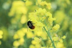 Flor y abeja del Canola polinizadas Fotografía de archivo