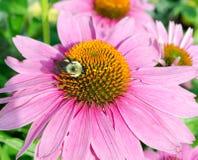 Flor y abeja del cono Foto de archivo libre de regalías