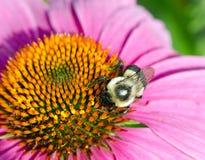 Flor y abeja del cono Fotografía de archivo libre de regalías