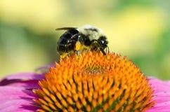 Flor y abeja del cono Fotos de archivo libres de regalías