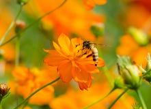 Flor y abeja del cosmos Imagenes de archivo