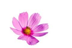 Flor y abeja del cosmos Foto de archivo libre de regalías