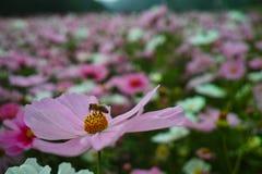 Flor y abeja del cosmos Imágenes de archivo libres de regalías