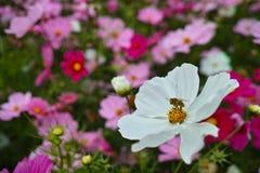 Flor y abeja del cosmos Fotos de archivo libres de regalías