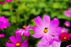 Flor y abeja del cosmos en Tailandia Imágenes de archivo libres de regalías