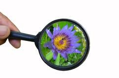 Flor y abeja del lirio de agua en lente convexa Fotografía de archivo
