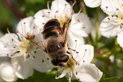 Flor y abeja del manzano Fotos de archivo