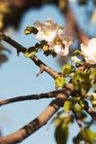 Flor y abeja del manzano Imagen de archivo libre de regalías