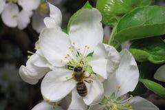 Flor y abeja del manzano Fotografía de archivo libre de regalías