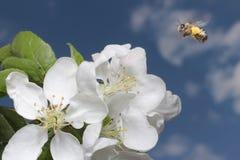 Flor y abeja del manzano Imagenes de archivo