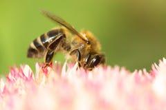 Flor y abeja del otoño Abeja en una flor Foto de archivo