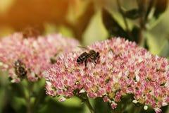 Flor y abeja del otoño Abeja en una flor Foto de archivo libre de regalías