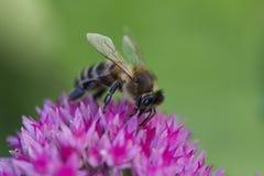 Flor y abeja del otoño Abeja en una flor Fotografía de archivo libre de regalías