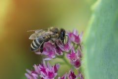 Flor y abeja del otoño Abeja en una flor Imagen de archivo