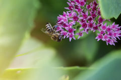 Flor y abeja del otoño Abeja en una flor Fotos de archivo libres de regalías