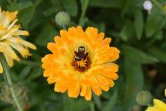 Flor y abeja del resplandor solar Imagen de archivo