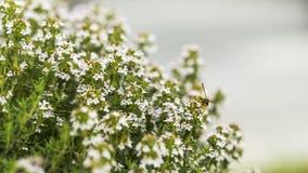 Flor y abeja del tomillo fotos de archivo libres de regalías
