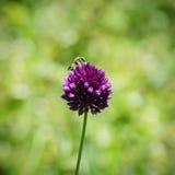 Flor y abeja del trébol Imágenes de archivo libres de regalías