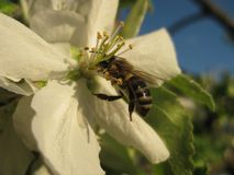 FLOR Y ABEJA En la flor de la abeja del primer del manzano Fotos de archivo libres de regalías