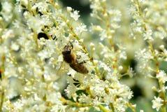 Flor y abeja en las montañas de Apuseni, Transilvania Imagen de archivo libre de regalías