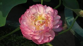 Flor y abeja hermosas del lotu metrajes