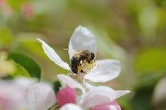 Flor y abeja macras Imágenes de archivo libres de regalías