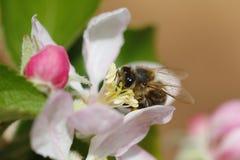 Flor y abeja macras Imagen de archivo