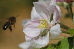 Flor y abeja macras Fotografía de archivo libre de regalías