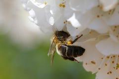 Flor y abeja macras Fotos de archivo