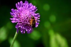 Flor y abeja púrpuras Fotografía de archivo libre de regalías