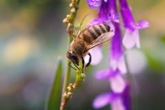 Flor y abeja púrpuras de la lila del verano de la primavera Abeja en una flor Fotografía de archivo