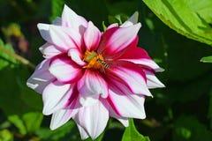Flor y abeja rojas y blancas de la dalia Fotos de archivo libres de regalías