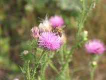 Flor y abeja rosadas Fotografía de archivo