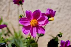 Flor y abeja rosadas Foto de archivo libre de regalías
