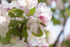 Flor y abeja rosadas Imagenes de archivo