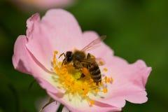 Flor y abeja rosadas de la primavera (subió) Abeja en una flor Fotografía de archivo libre de regalías