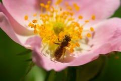 Flor y abeja rosadas de la primavera (subió) Abeja en una flor Foto de archivo