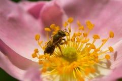 Flor y abeja rosadas de la primavera (subió) Abeja en una flor Imagen de archivo