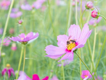 Flor y abeja rosadas del cosmos con el fondo de la falta de definición (brillante ablande el estilo) Fotografía de archivo