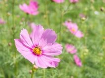 Flor y abeja rosadas del cosmos con el fondo de la falta de definición (brillante ablande el estilo) Foto de archivo