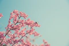 Flor y abeja rosados de la primavera en naturaleza Foto de archivo
