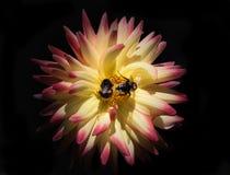 Flor y abejas de la dalia Foto de archivo libre de regalías