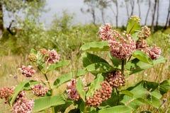 Flor y abejas del Asclepias Imagen de archivo libre de regalías