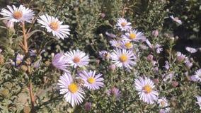 Flor y abejas del aster almacen de video