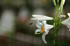 Flor y abejas en un fondo de la falta de definición Fotos de archivo