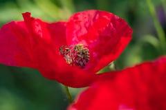 Flor y abejas La abeja que poliniza la amapola roja florece en prado adentro Fotos de archivo