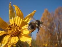 Flor y abejorro Imágenes de archivo libres de regalías