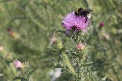 Flor y abejorro del cardo en el prado del verano Imágenes de archivo libres de regalías
